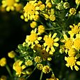 Honey_euryops_virgineus