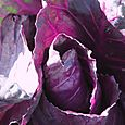 Red_cabbage_chou_rouge_brassica_oleracea