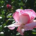 Rose_rosa_2008_05_001