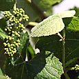 Green_grape_raisin_vert