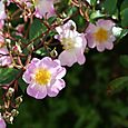 Rosa_grouse_rose
