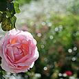 Rose_rose_rosa_2