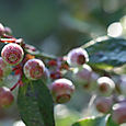 Blueberries_myrtille