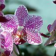 Polka_dotted_orchid_orchide_mouchete