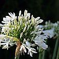 White_agapanthus_blanc