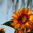 Sunflower_tournesol_girassol_helianthus