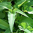 Water_spinach_patate_aquatiqueipomoea_re