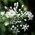 Chives_ciboulail_allium_schoenoprasum_l