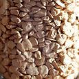 Spanish_lentil_gesse_chicharo_lathyrus_s