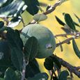 Pineapple_guava_feijoa_sellowiana
