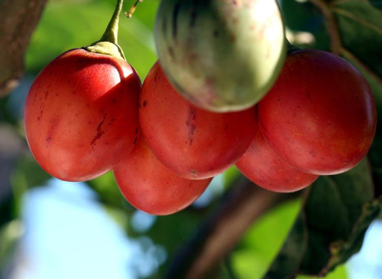 Tamarillo tomate en arbre Solanum betaceum