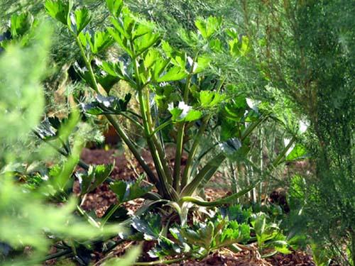 Celery celeri rave salsão aipo