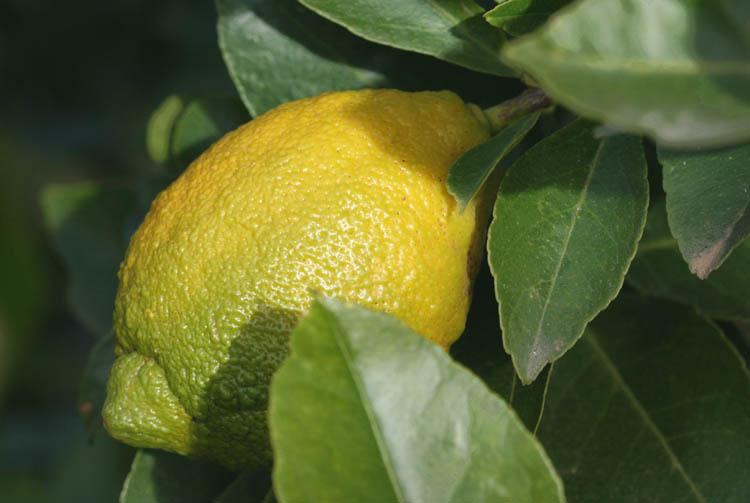 Verna lemon citron limao