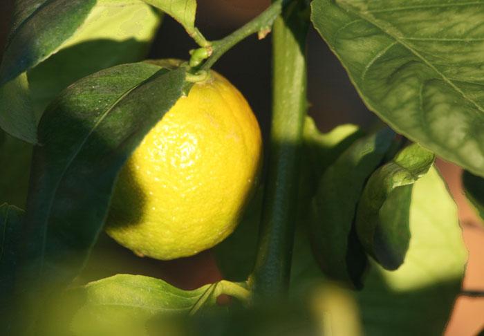 Indian Sweet lime douce de Palestine Balady Boussora Chaksi Mithakaghzi Citrus limettioïdes Tanaka