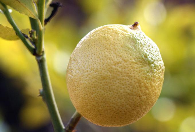 Lemon citron citrus limon feminello limao