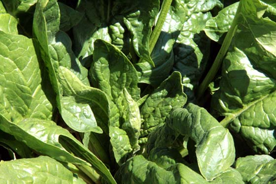 Spinach épinard Espinafre