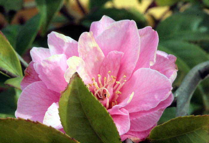 Camellia williamsii Fragrant Pink