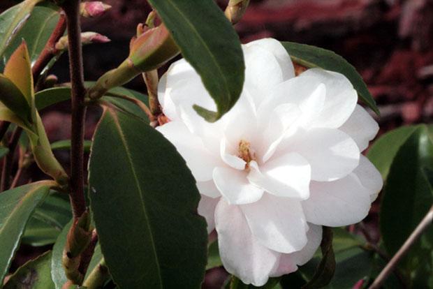 Camellia Cinnamon Cindy camelia