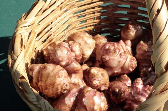 Jerusalem artichoke topinambour tupinambo girassol batateiro