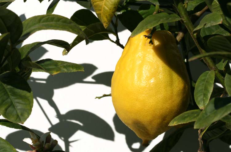 Citron cédrat diamante