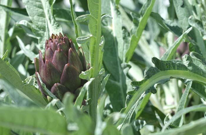 Artichoke violet artichaut