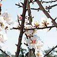 Almond flower  fleur amandier Amendoeira flore Prunus dulcis