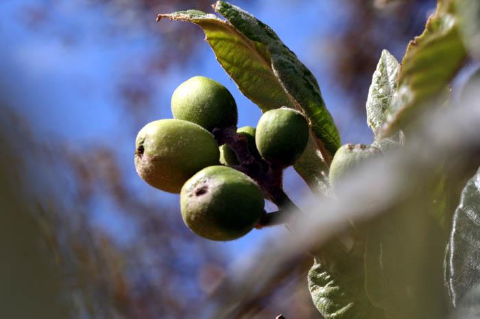 Loquat néfles du Japon bibaces Nespereiras
