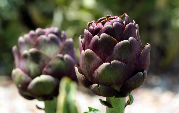 Artichoke artichaut violet alcachofra