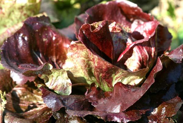 Chicorée rouge de Chioggia