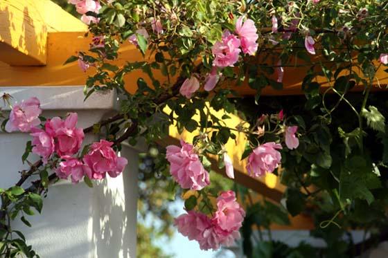 Roses sur la pergola Olhar feliz