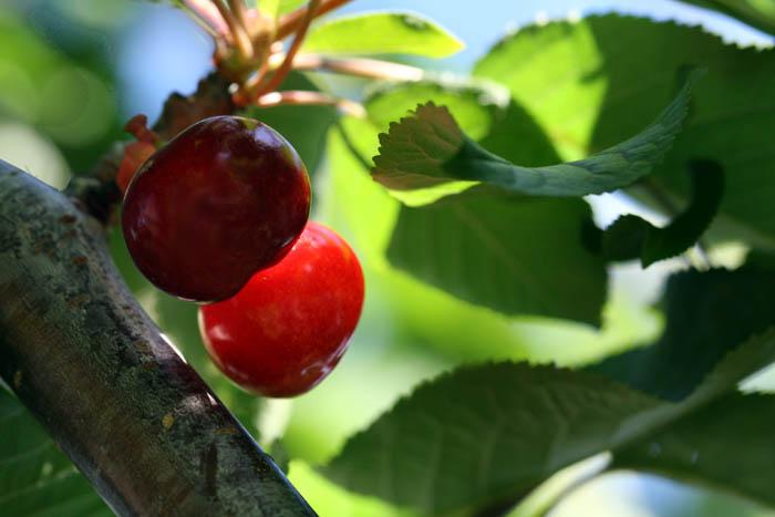Cherry bigarreau  hatif burlat cereja