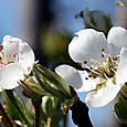 Pear blossoms fleur poirier