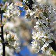 Plum blossoms fleur prunier