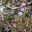Peach blossoms pecher en fleur