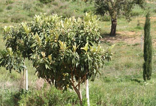 Loquat néflier du Japon bibacier Nespereira Eriobotrya japonica