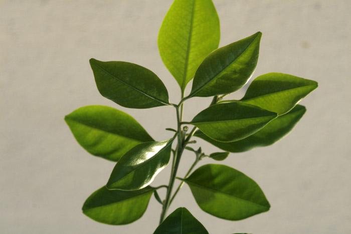Boxwood Orange Jessamine Murraya paniculata