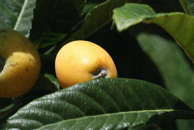 Loquat bibace nefle du japon