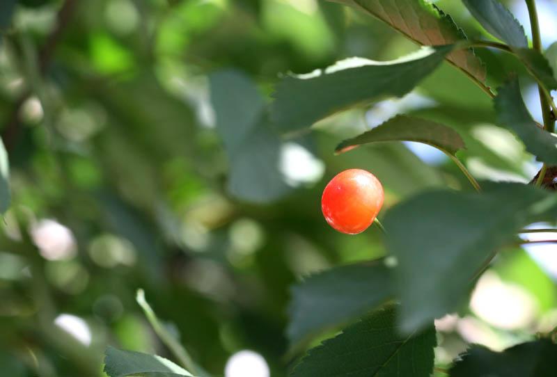 Cereja-ácida ginja sour cherry griotte