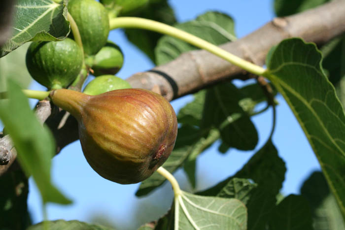 Fig figue figueira