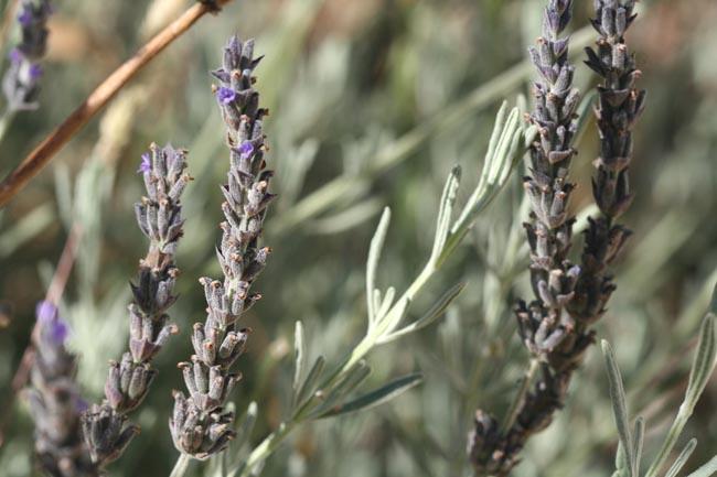Lavender lavande alfazema