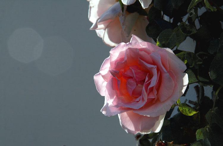 Rose grimpante