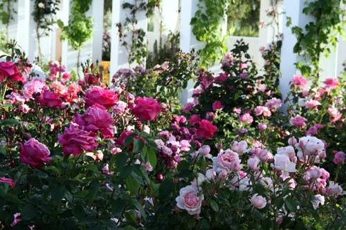 Roses lugar do Olahr feliz 2009 05