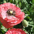 Poppies pavots