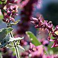 Salvia sauge Gerard Weiner