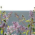 Ceanothus lilas de Californie Gloire de Versailles