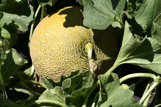Gallia melon