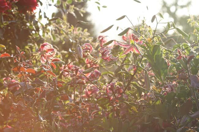 Lilium lys