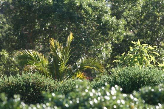 Oakleaf carica Papayer à feuille de chêne Carica quercifolia