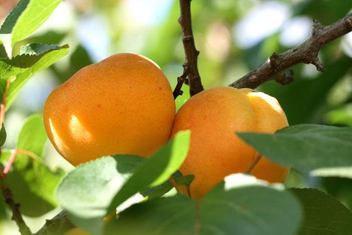 Apricot abricot damasco alperce  Prunus armeniaca