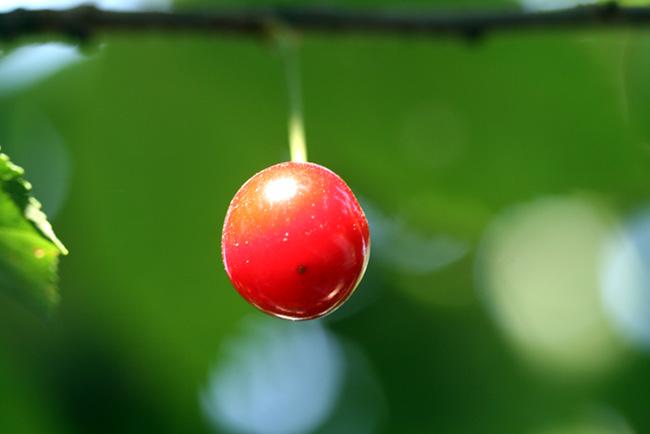 Sour cherry cerise Griotte de Montmorency
